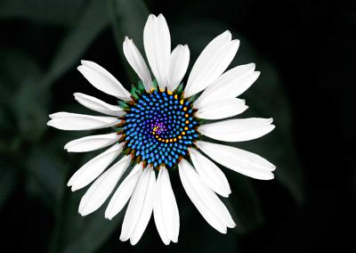 Echinacea 2246
