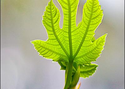 Fig Leaf 0650