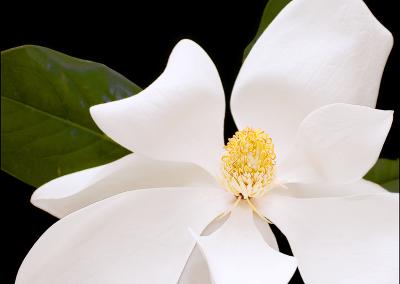 Magnolia 4416