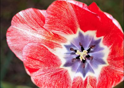 Tulip 2711