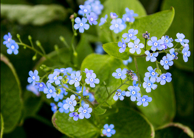 Forget-Me-Not 8536