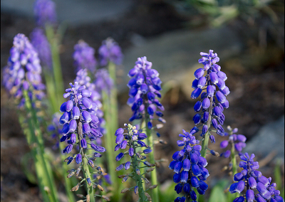Grape Hyacinth 8550