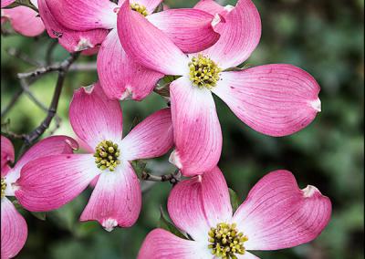 Pink Dogwood 8533
