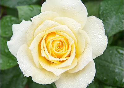Rose 7752