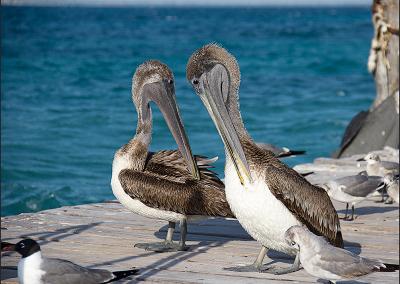 Pelicanos 4797