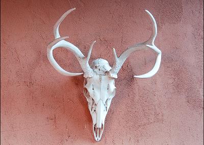 Deer Skull 5353