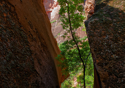Tree in Zion 7633