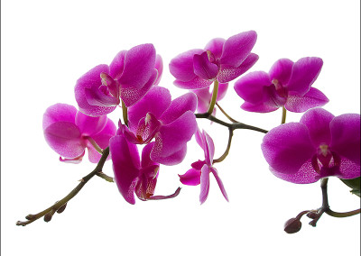 Orchid 0024