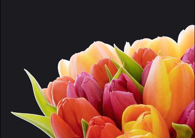 Tulips 6918