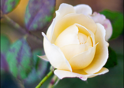 Gardens Of Del Ray. Yellow Rose 3881